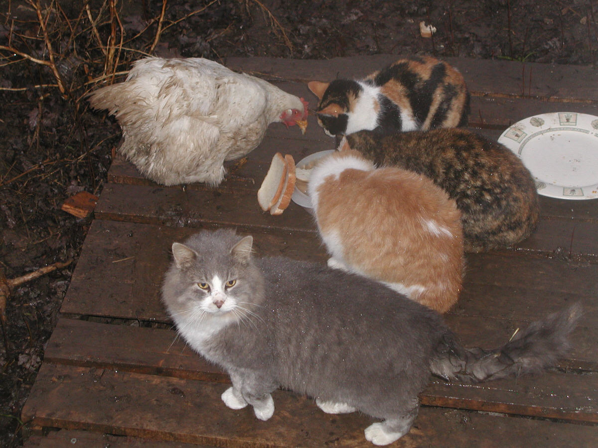 Cats and hen