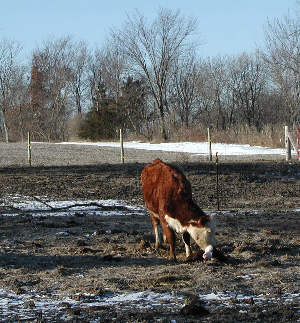 first calf